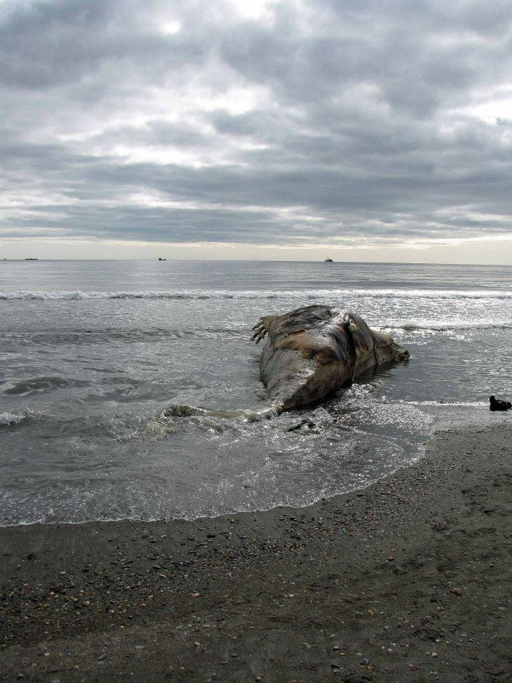 Dead Stuff On The Beach Is It Nessie Yankee Skeptic