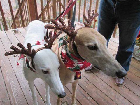 Whippet Good (at Christmas!) My friend Mikki's dogs are ready to stand in if the reindeer are busy!