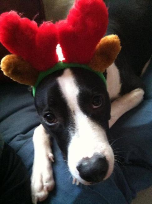 This Florida dog Walt is usually known for wearing Mickey Mouse ears! He's named after Disney of course, but willing to dress up for Xmas also!