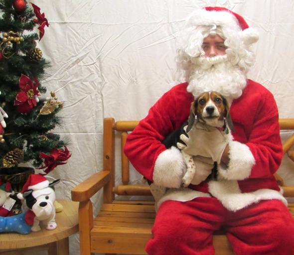 This Maryland beagle isn't sure about Santa, but he sure looks cute!