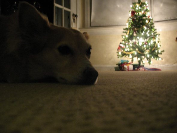 Puppy waiting for Santa Paws, he's been very good.